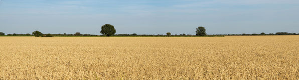 Cereals and Fields with Trees Green Horizon Stock Image