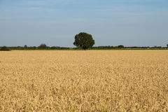 Cereals and Fields with Trees Green Horizon Stock Photo