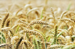 Cereals In The Grain Field Stock Images