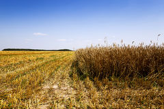 cereals during harvest Royalty Free Stock Photography