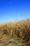 cereals during harvest Royalty Free Stock Images