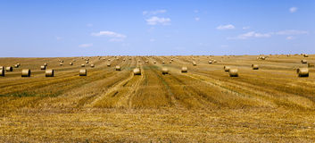 cereals during harvest Royalty Free Stock Photo