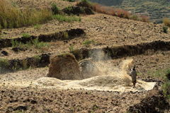 Cereals harvest in Ethiopia Stock Photography