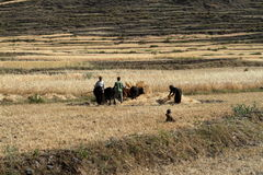 Cereals harvest in Ethiopia Royalty Free Stock Photography