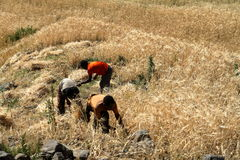 Cereals harvest in Ethiopia Royalty Free Stock Images