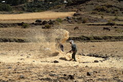 Cereals harvest in Ethiopia Royalty Free Stock Image