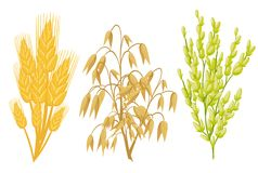 Cereals icons of grain plants. Vector wheat and rye ears, buckwheat seeds and oat or barley millet and rice sheaf. Isolated agricu Stock Illustration