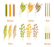 Cereals plants set. Carbohydrates sources. Colorful vector illustration Stock Photo