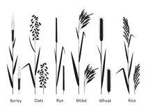 Cereals plants set. Carbohydrates sources. Vector illustration Royalty Free Stock Photography