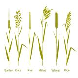 Cereals plants set. Carbohydrates sources stock illustration
