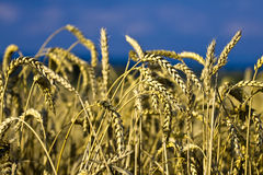 Cereals and sky. Close-up cereals and sky in the background Stock Photo