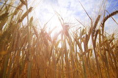 Cereals in the Sun Stock Images