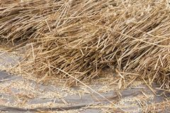 Cereals at a threshing floor Stock Photo