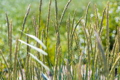 Cereals, wind. Good quality artistic photo of of grass or spikelets or some cereals in the wind. Green farm land somewhere in suburbs, various green and yellow Royalty Free Stock Images