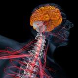 Cerebellum, brain perspective vector illustration