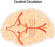 Cerebral Circulation Stock Photography