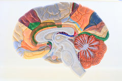 Cerebral hemisphere. Royalty Free Stock Photo
