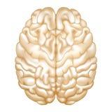 Cerebro Imagen de archivo libre de regalías