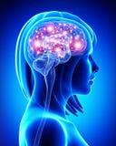 Cerebro activo humano stock de ilustración