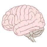 Cerebro coloreado de la vista lateral de la anatomía del cerebro humano completamente stock de ilustración