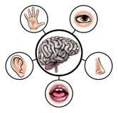 Cerebro de cinco sentidos stock de ilustración