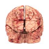 Cerebro de la anatomía - Front View Isolated Fotos de archivo