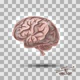 Cerebro de la persona Fotografía de archivo libre de regalías