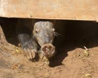 Cerebro del cerdo hormiguero Imágenes de archivo libres de regalías