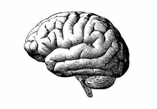 Cerebro del grabado con negro en BG blanca Fotografía de archivo