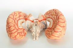 Cerebro del modelo humano fotos de archivo libres de regalías