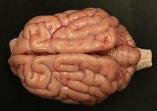 Cerebro del perro foto de archivo libre de regalías
