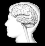 Cerebro - en veiw del lado del contexto Fotos de archivo