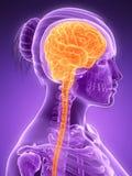 Cerebro femenino Imágenes de archivo libres de regalías