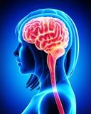 Cerebro femenino en radiografía azul libre illustration