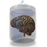 Cerebro humano Fotos de archivo libres de regalías