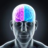 Cerebro humano izquierdo y derecho Imagen de archivo