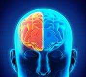 Cerebro humano izquierdo y derecho Fotos de archivo libres de regalías