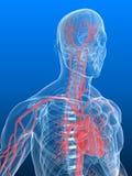 Cerebro humano y corazón Imágenes de archivo libres de regalías