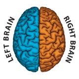 Cerebro izquierdo, cerebro derecho Foto de archivo libre de regalías