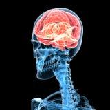 Cerebro masculino Fotos de archivo libres de regalías