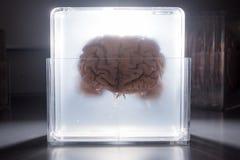 Cerebro que flota en un tarro que brilla intensamente Fotos de archivo libres de regalías