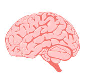 Cerebro rosado la vista lateral Fotos de archivo libres de regalías