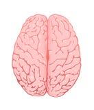 Cerebro rosado una visión superior Imagen de archivo libre de regalías