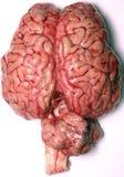 Cerebro verdadero Fotografía de archivo libre de regalías