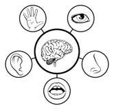 Cerebro y cinco sentidos Imágenes de archivo libres de regalías