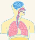 Cerebro y pulmones Imágenes de archivo libres de regalías