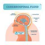Cerebrospinal fluidu wektoru ilustracja Anatomiczny przylepiający etykietkę diagram - ludzki wyższy sigittal sinus i rdzenia kręg royalty ilustracja