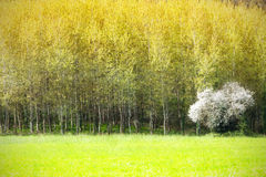 Cereja-árvore Imagens de Stock Royalty Free