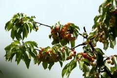 A cereja é doce Imagem de Stock