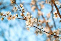 A cereja branca floresce as flores no dia de mola na natureza Imagens de Stock
